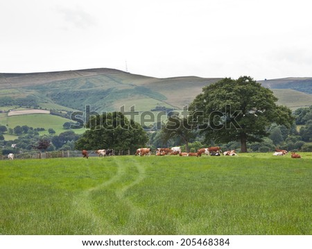 cows in a field in Bamford, England, UK