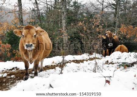 Cows in a forest, Basque Country (Spain) - stock photo