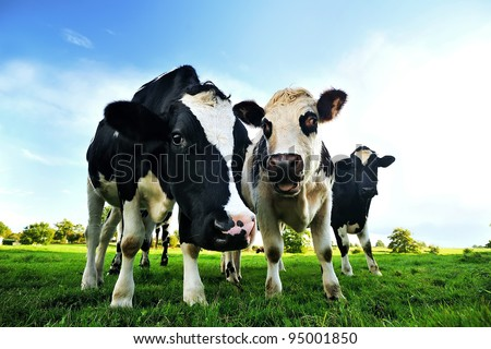 Cows in a green field in Normandy - France - stock photo