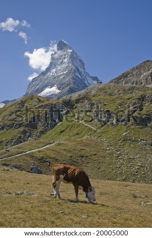 Cows in a green pasture in the mountains Matterhorn