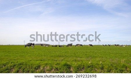Cows in a meadow along a road in spring - stock photo