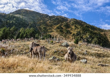 Cows in a meadow in Fall, in the Valley of Estanyo River, Andorra