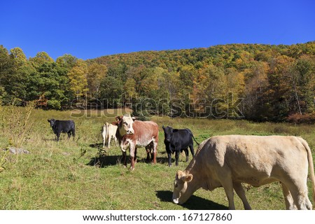 Cows in a mountain field in the fall - stock photo