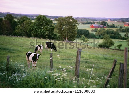 Cows in a pasture - stock photo