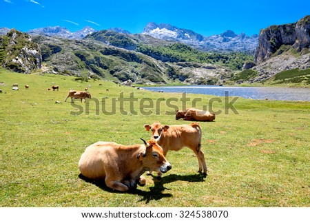 Cows in a pasture near Lake Ercina. Cantabrian. Covadonga. Asturias. Spain. - stock photo