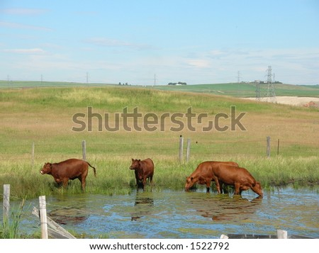 cows in a pond