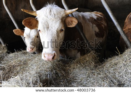 Cows in a stable - stock photo