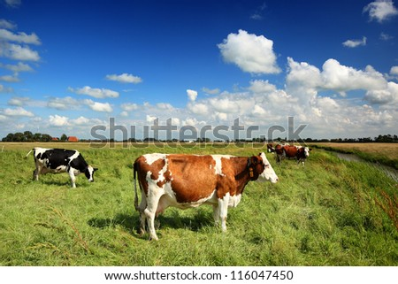cows in a sunny meadow - stock photo