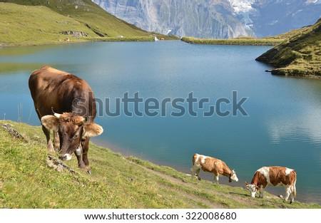 Cows in Alpine meadow. Jungfrau region, Switzerland - stock photo