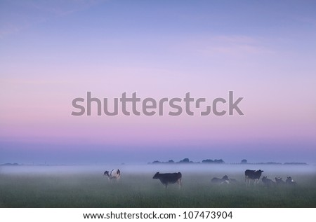 cows in fog on pasture during sunrise in Groningen, Netherlands - stock photo