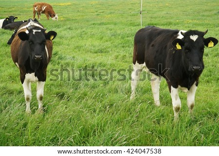 Cows in Friesland