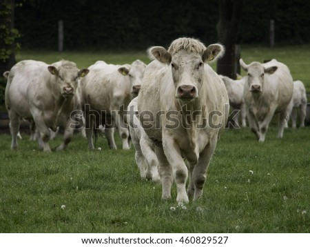 cows in germany
