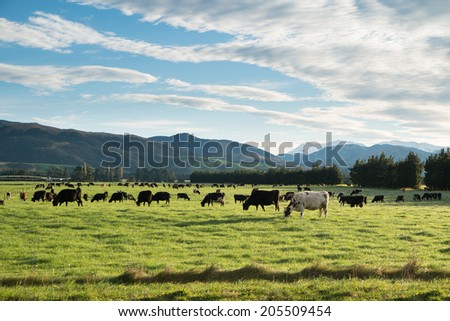 Cows in green meadow with mountain background in Springfield, West Coast, South Island, New Zealand - stock photo