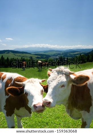 Cows in love - stock photo