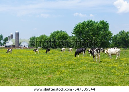 Cows in lovely meadow with buttercups and an amish barn in background
