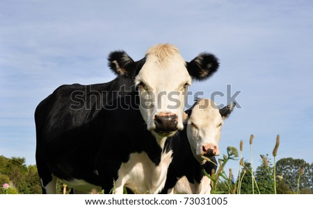 Cows in New Zealand - stock photo
