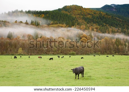 Cows in Pasture. Cows grazing on grass during the changing colors of autumn in the North Cascade Mountain area of western Washington state.  - stock photo