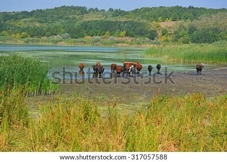 Cows in Southern Buh (Pivdennyi Buh) river, Buh-Gard, Mykolaiv Oblast, Ukraine - stock photo