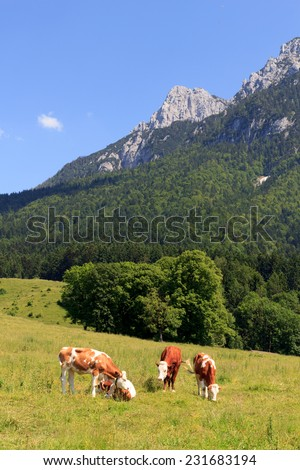 Cows in the Alps in front of the Zahmer Kaiser - stock photo