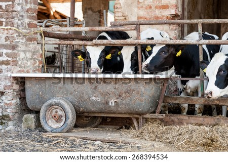 Cows in the barn with hay - stock photo