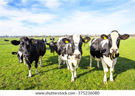 Cows in the countryside from the Netherlands - stock photo