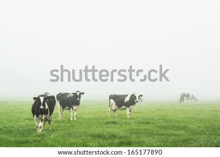 Cows in the fog - stock photo