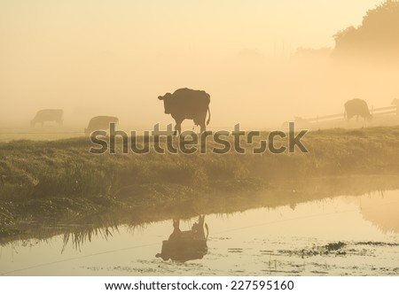 Cows in the foggy, dutch countryside - stock photo