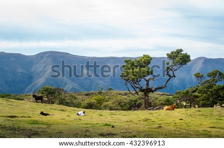 Cows in the mountain plateau of Madeira. Landscapes of Fanal national park, Madeira island, Portugal.