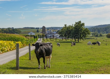 Cows in the pasture at Amish farm in Lancaster County - stock photo