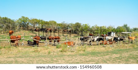 Cows in the pasture corral. Fencing, trees, a herd of cattle. Summer, blue sky, rural landscape. - stock photo