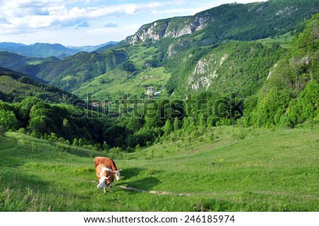 Cows in the pasture in Transylvania, Romania - stock photo