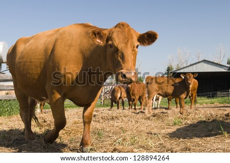 Cows in the pen area of an Alberta beef farm