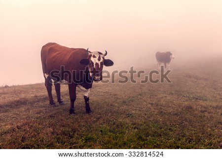 Cows in Ukraine during a foggy sunrise. - stock photo