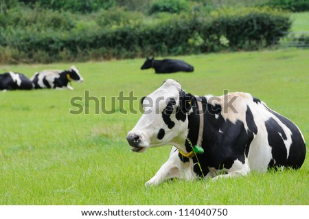Cows laying down chewing the cud - stock photo