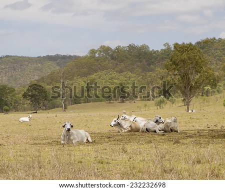 Cows lie down waiting for the rain in country Queensland Australia - stock photo
