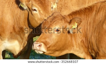Cows - Limousin cattle, Bos taurus, cattle breed from the Limousin region of France