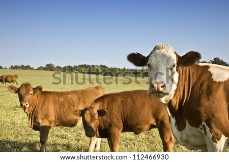Cows looking at the camera - stock photo