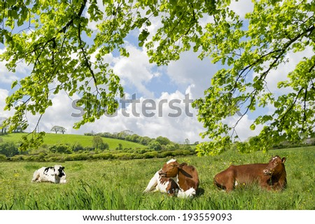 Cows lying in a meadow