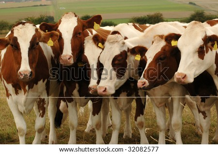 Cows  near an electric fence.