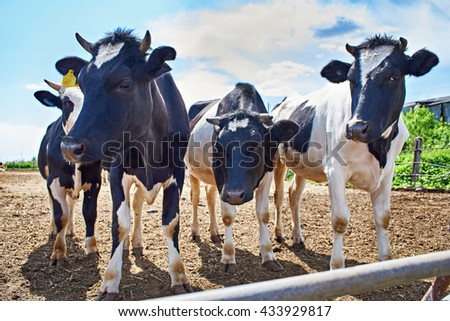 Cows on a dairy farm on a summer day