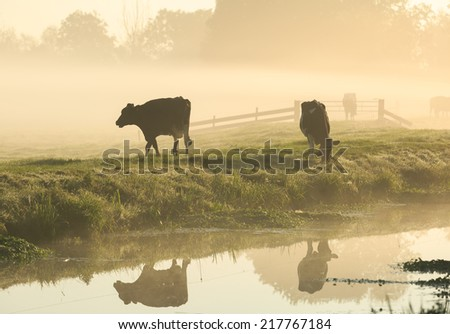 Cows on a dike in the foggy, Dutch countryside. - stock photo