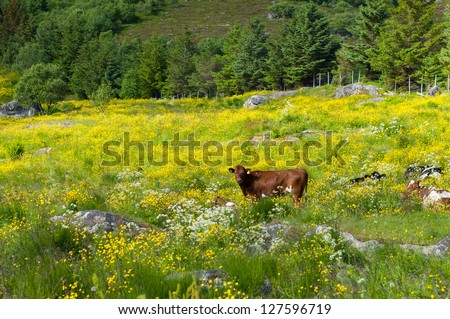 Cows on a grass field, Lofoten Norway