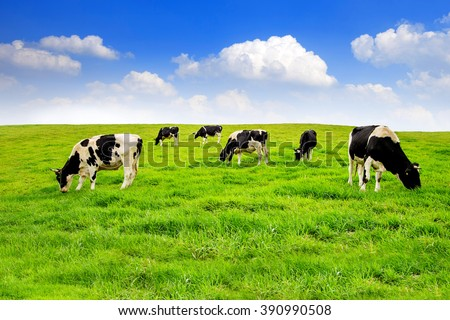 Cows on a green field and blue sky. - stock photo