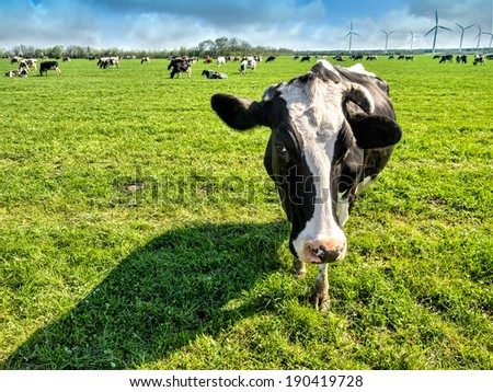 Cows on a green lush meadow  in Denmark - stock photo