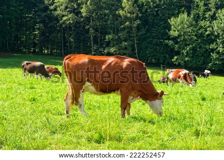 Cows on a green meadow in summer sunny day
