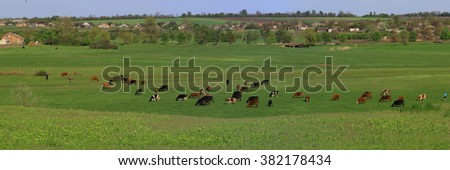 cows on a green meadow in the spring - stock photo