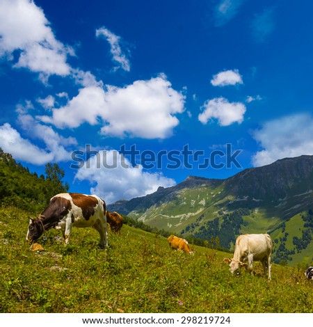 cows on a green mountain pasture - stock photo