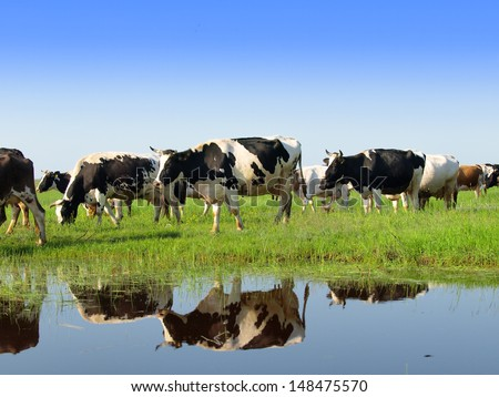 Cows on a green summer meadow - stock photo