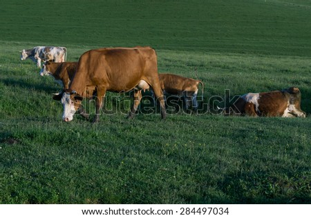 cows on a meadow at sunset