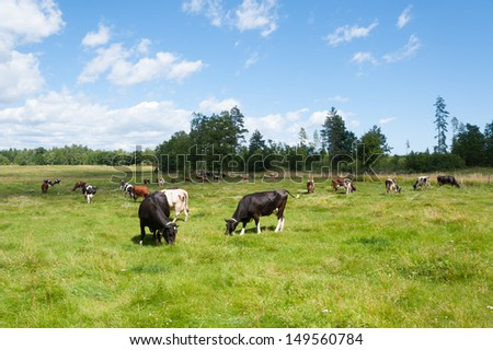 Cows on a meadow in Sweden on a beautiful summer day with blue sky and white clouds and fresh green grass - stock photo